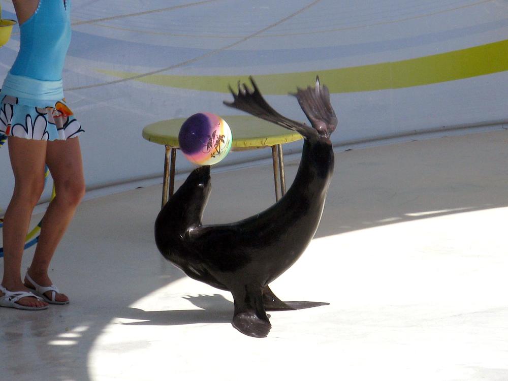 Морской котик в дельфинарии
