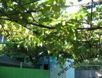 Зеленый навес из винограда
